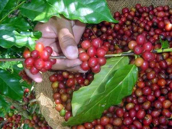 Cienfuegos con una cosecha de café más eficiente