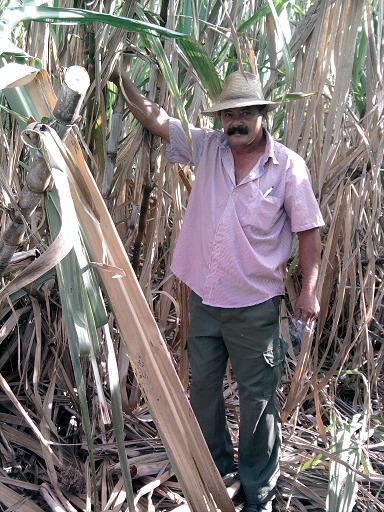 En Puerto Padre los productores cañeros apuestan por mejores resultados
