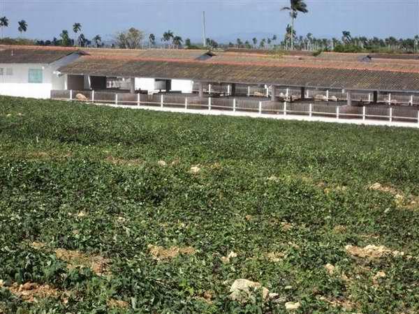 Programa porcino cubano. Foto: Cabrera Peinado