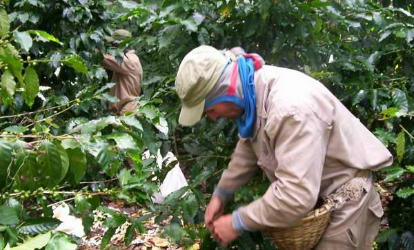 En Cienfuegos avanza cosecha de café