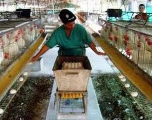 Avicultores camagüeyanos laboran para estabilizar producción de huevos