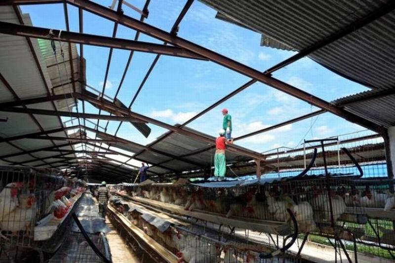 Reparación techos naves avícolas. Foto: Rodolfo Blanco