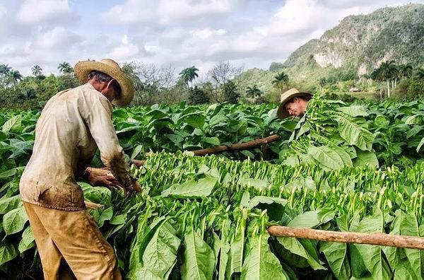 Avanzan labores en el sector tabacalero de Pinar del Río