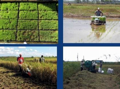 Expanden por Pinar del R�o nueva variedad de arroz
