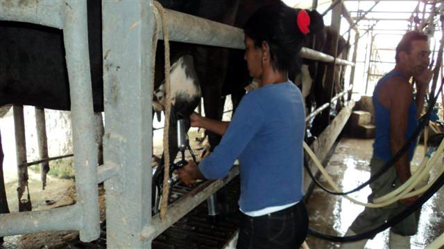 Cow milk output grows 20 percent in central Cuban province