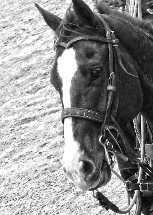 Algunos caballos tienden a ser dominantes, agresivos, tolerantes, indiferentes, confiados y curiosos, mientras que otros son más temerosos, defensivos, reactivos, emocionales, inseguros, y asustadizos. Foto: Abel Rojas Barallobre