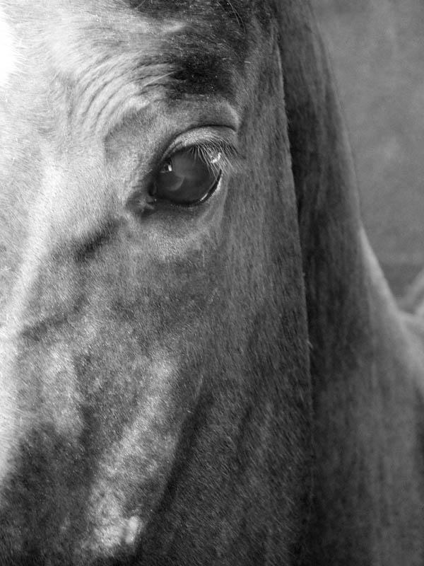 Ojos muy abiertos y ollares alargados verticalmente muestran nerviosismo o amenaza; mientras que en un estado normal los ojos del caballo permanecerán entrecerrados. Foto: Abel Rojas Barallobre