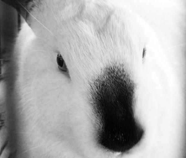 Los conejos son muy reservados y pacíficos en todo su comportamiento. Foto: Abel Rojas Barallobre