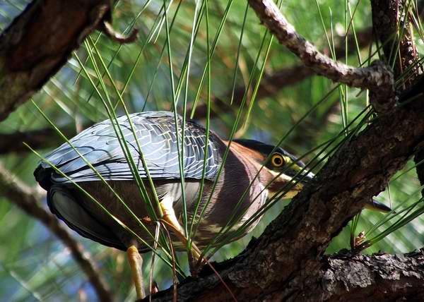 El Aguaitacaimán o Garcita Verde habita básicamente en áreas de agua dulce. Pone tres o cuatro huevos de color verde azulado. Es un ave ruidosa, que produce un cacareo y un repentino chillido cuando se asusta. Foto Abel Rojas Barallobre