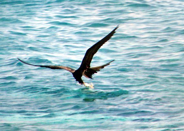 El Cormorán, ave acuática de gran tamaño que se alimenta de peces que obtiene buceando desde la superficie y nadando bajo el agua. Como dato curioso podemos mencionar que carece de orificios nasales externos. Foto Abel Rojas Barallobre