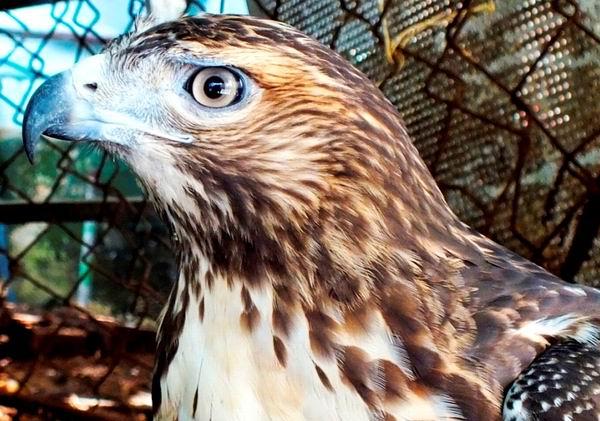 En la avifauna endémica de Cuba existen 21 especies de aves rapaces, siendo el Gavilán de Monte la más grande y abundante en la Isla. A veces vuela en compañía del Aura Tiñosa. Habita en bosques al nivel del mar y en elevaciones medias, incluidos en bosques cenagosos. Se alimenta de aves, jutías, chipojos e insectos. Foto Abel Rojas Barallobre