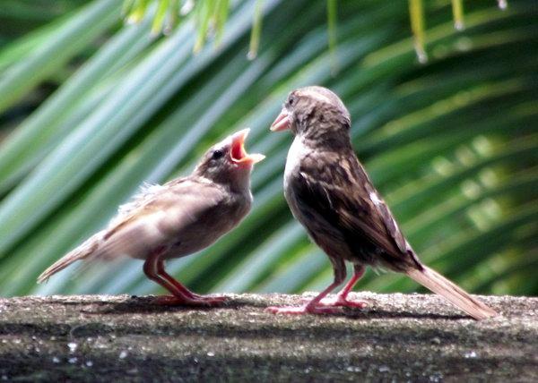Los gorriones tienen un amplio espectro alimentario, ya que consumen insectos, frutas, granos, desperdicios y todo lo que encuentra en la basura de las ciudades. Foto Abel Rojas Barallobre