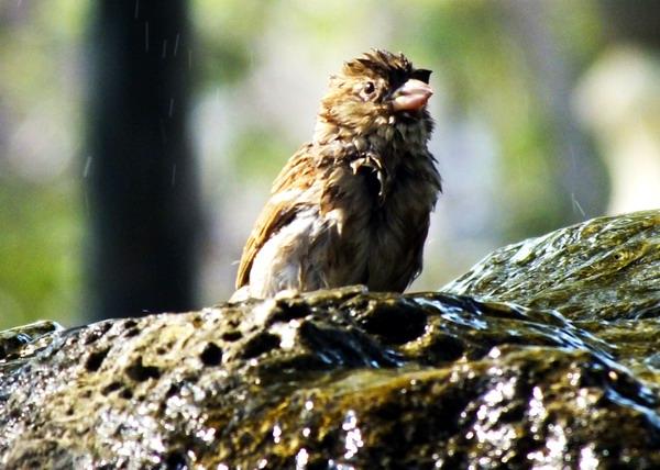 El Gorrión es un ave originaria del continente Euroasiático y del Norte de África; y fue introducida en Cuba a mediados del Siglo XIX. Foto Abel Rojas Barallobre