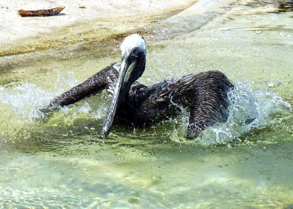 Entre las aves acuáticas de Cuba destaca el Pelicano. Con frecuencia se le observa en pequeños grupos que se mueven a baja altura sobre el agua en formación diagonal. Foto Abel Rojas Barallobre
