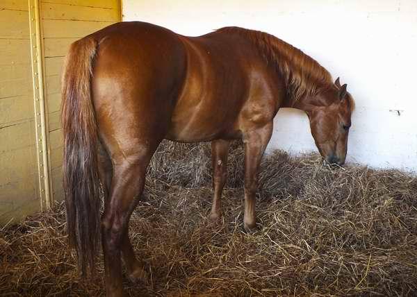 Caballo perteneciente a la raza Quarter Horse. Foto Abel Rojas