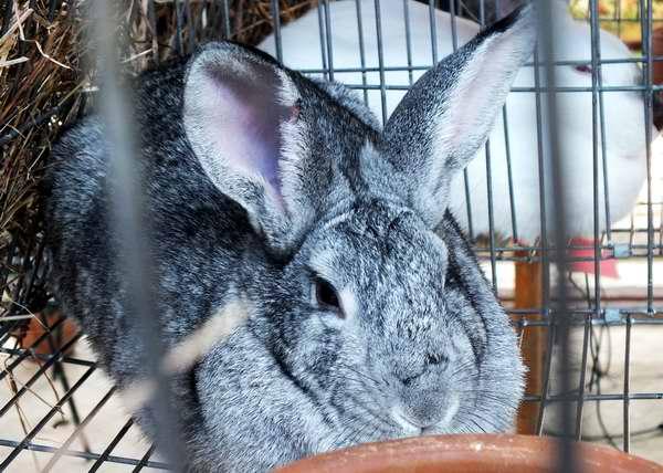 Conejo perteneciente a la raza Chinchilla. Foto Abel Rojas