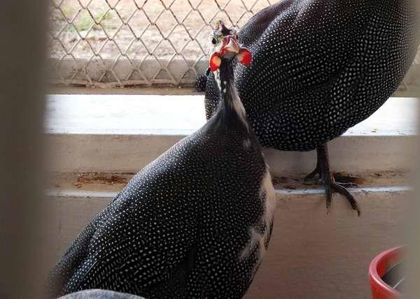 Faisanes en FIAGROP 2013. La hembra es mucho menos llamativa que el macho, con plumaje castaño moteado y cola más corta. Foto Abel Rojas