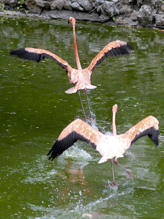 Flamenco: un ave elegante y esbelta (+Fotos)