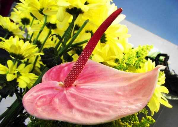 En el lenguaje del las flores, el anthurium significa sensualidad ardiente y erotismo. Foto Abel Rojas