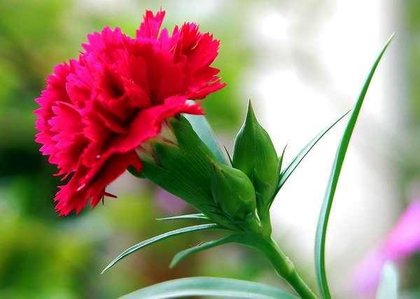 """El clavel rojo equivale a """"mi corazón suspira por ti"""". Foto Abel Rojas"""