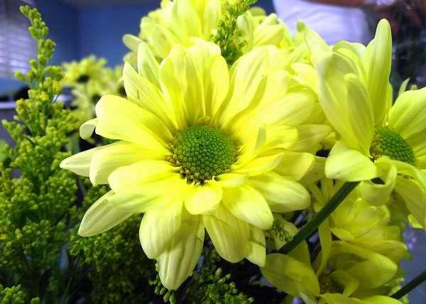 Los crisantemos representan a la sinceridad. Foto Abel Rojas