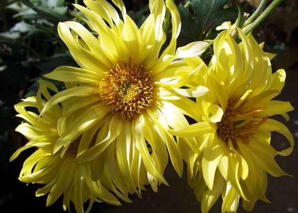 Las margaritas blancas y amarillas simbolizan un amor eterno que es inocente y puro a la vez. Foto Abel Rojas