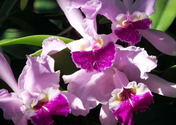 La orquídea es una excelente elección para la mujer refinada y elegante. Foto Abel Rojas