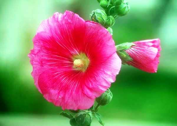 """""""Tu presencia me alivia"""" es el mensaje que dan las petunias. Foto Abel Rojas"""
