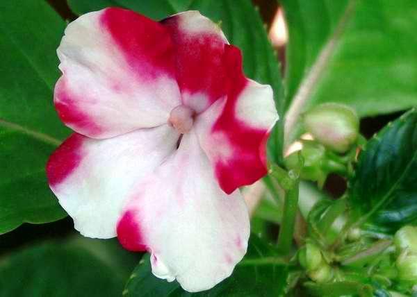 La petunia, flor de gran belleza que se distingue por sus vistosos colores. Foto Abel Rojas
