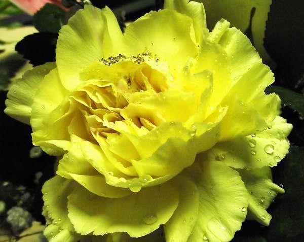 """Las rosas amarillas representan al """"amor eterno"""". Foto Abel Rojas"""