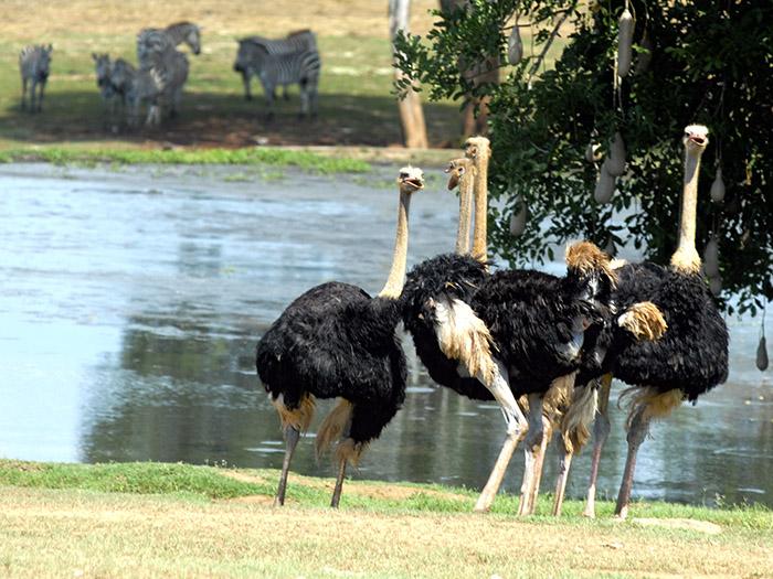 El avestruz es un ave grande que no vuela, sino que es corredora. Se halla en África. Foto: Abel Rojas Barallobre