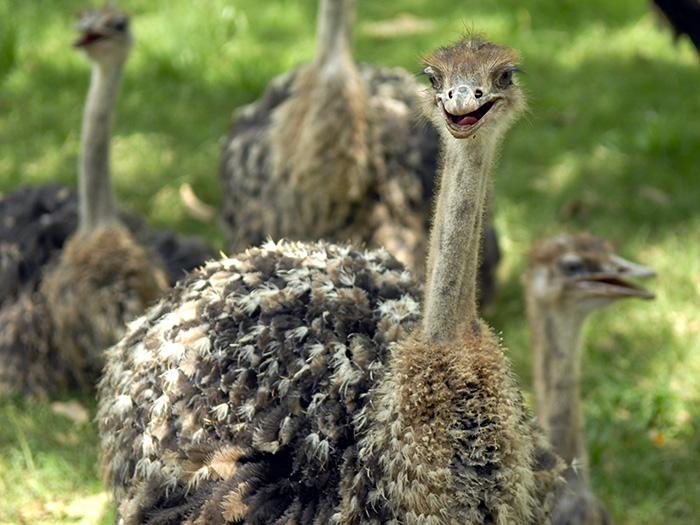 El avestruz es la más grande y la más pesada de las aves que aún existen; puede alcanzar los tres metros de altura. Foto: Abel Rojas Barallobre
