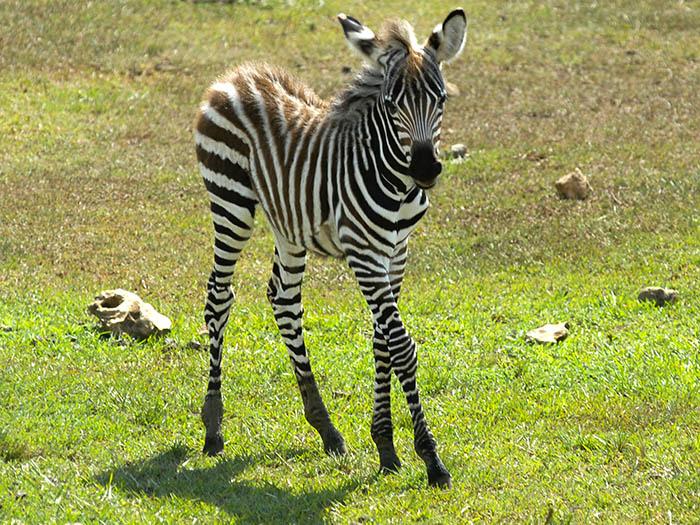 Las cebras son uno de los animales más conocidos de África, donde habitan en una variedad de ecosistemas. Foto: Abel Rojas Barallobre