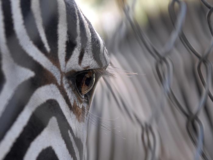 Las cebras son especialmente célebres por sus características rayas negras y blancas, que no sólo varían entre las tres especies existentes, sino también de un individuo al otro. Foto: Abel Rojas Barallobre