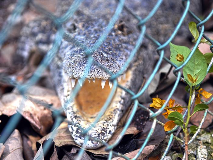 Los cocodrilos pueden controlar la velocidad de su digestión según la abundancia de presas y de la temperatura ambiente. Foto: Abel Rojas Barallobre