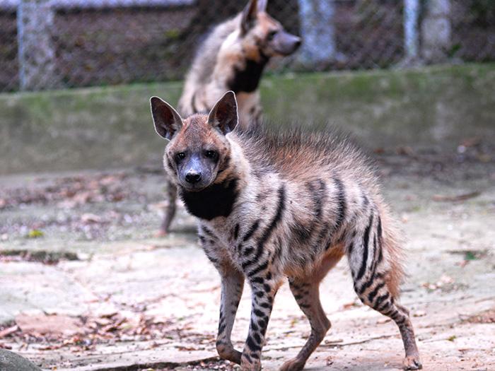 Ocasionalmente las hienas cazan por sí mismas, y es conocido que espantan a leopardos o leones de sus presas muertas; la mordedura de la hiena es la más fuerte entre los mamíferos. Foto: Abel Rojas Barallobre