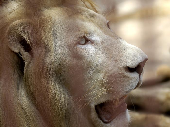 El león blanco es una mutación poco frecuente de color; y se encuentra ocasionalmente en las reservas naturales de África del Sur, y se cría selectivamente en muchos zoológicos del mundo. Foto: Abel Rojas Barallobre