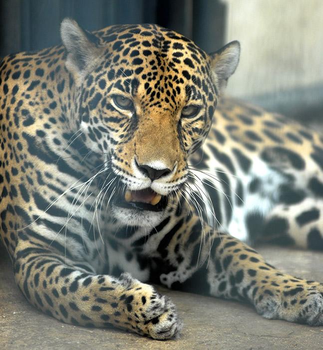 Excepto en desiertos, el leopardo habita en todo tipo de hábitats, siempre que tenga un lugar donde esconderse y existan suficientes presas para sobrevivir. Foto: Abel Rojas Barallobre