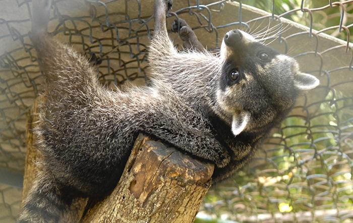 Los mapaches son nocturnos, tienen un agudo sentido del olfato y son buenos trepadores. Foto: Abel Rojas Barallobre