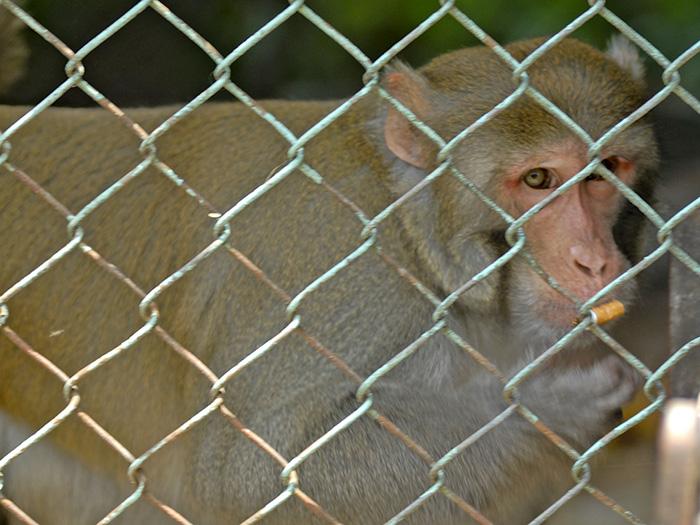 Los monos poseen por lo general cola, tienen un esqueleto primitivo y son pequeños. Foto: Abel Rojas Barallobre