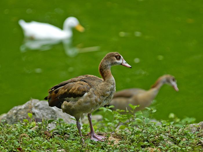 El pato es una de las aves acuáticas más presentes en todos los puntos del mundo debido a sus migraciones. Foto: Abel Rojas Barallobre
