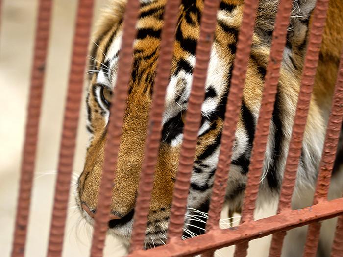 El tigre se encuentra solamente en el continente asiático; es un predador carnívoro y es la especie de félido más grande del mundo. Foto: Abel Rojas Barallobre