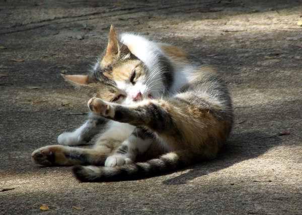 Los gatos usan la lengua para limpiarse el pelaje y normalmente se comen todos los pelos sueltos. Foto Abel Rojas