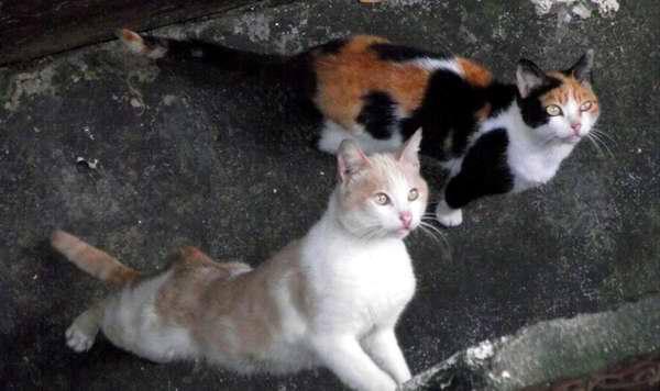 Los gatos pertenecen a la familia de los felinos. Foto Abel Rojas