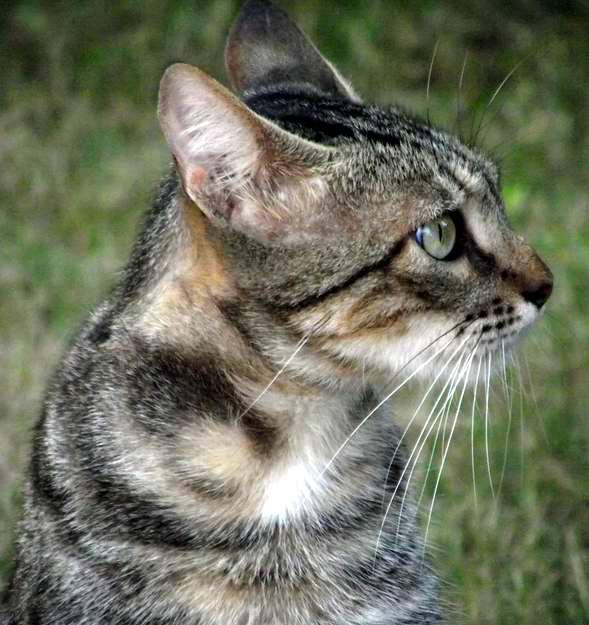 Los gatos emplean los bigotes para advertir los obstáculos y notar los cambios de ambiente . Foto Abel Rojas