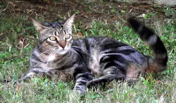 El gato doméstico tiene uñas retráctiles, buen oído y olfato, una notable visión nocturna y un cuerpo compacto musculoso y muy flexible. Foto Abel Rojas