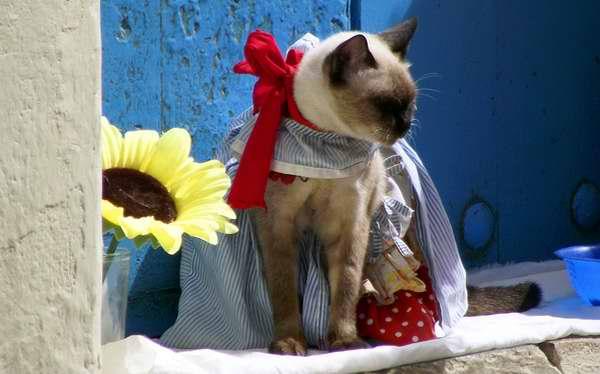 El Siamés Thai es una de las nueve razas gatunas existentes en Cuba. Foto Abel Rojas