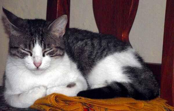 Los gatos toman largas siestas, usualmente entre 13 y 14 horas de duración. Foto Abel Rojas