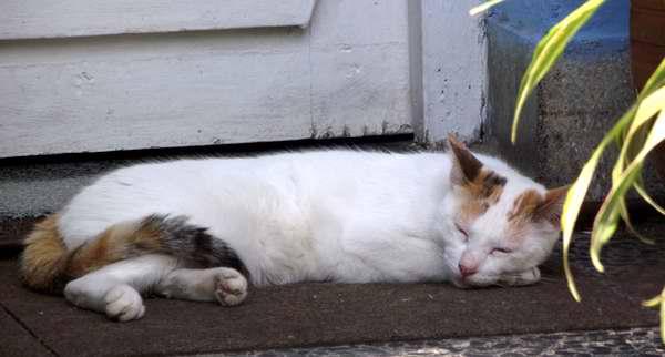 Los gatos conservan la energía mientras duermen, más que cualquier otro animal. Foto Abel Rojas