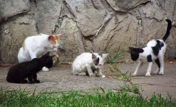 Los gatos son animales muy sociales, prefieren vivir en colonias más o menos jerarquizadas. Foto Abel Rojas